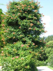 Hibiskusbaum